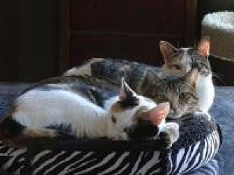 Calico Cat for adoption in Spring Branch, Texas - Charity