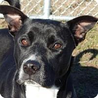 Adopt A Pet :: Socks - Terrell, TX