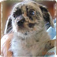Adopt A Pet :: Micah-Adoption Pending - Marlborough, MA