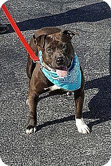 American Pit Bull Terrier Dog for adoption in Burlington, Vermont - Gertrude
