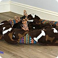 Chihuahua Dog for adoption in PT ORANGE, Florida - TINY TIM