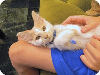 Domestic Shorthair Kitten for adoption in The Colony, Texas - Zephyr