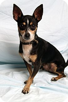 Chihuahua Mix Dog for adoption in St. Louis, Missouri - Clifford Chi