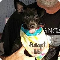 Adopt A Pet :: Gabbana - Ft. Lauderdale, FL