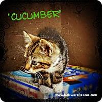 Adopt A Pet :: Cucumber - Seaford, DE