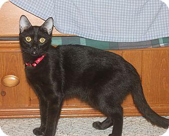 Bombay Kitten for adoption in Houston, Texas - Patience
