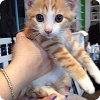 Adopt A Pet :: Mama's Boy - McHenry, IL