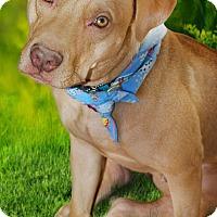 Staffordshire Bull Terrier/Labrador Retriever Mix Dog for adoption in Phoenix, Arizona - RILEY