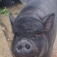 Pig (Potbellied) for adoption in Bruce Township, Michigan - Lucy