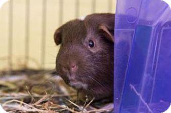 Guinea Pig for adoption in Lowell, Massachusetts - Jelly