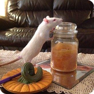 Rat for adoption in Philadelphia, Pennsylvania - SOUTH PHILLY Group: BABY GIRLS