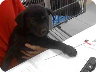 Labrador Retriever/Pit Bull Terrier Mix Dog for adoption in Conroe, Texas - PINK ADELE