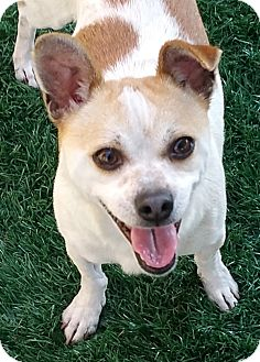 Terrier (Unknown Type, Small) Mix Dog for adoption in Chula Vista, California - Virgil
