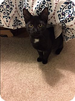 Domestic Shorthair Cat for adoption in Albany, New York - Paddington