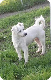 Terrier (Unknown Type, Medium) Mix Dog for adoption in Santa Rosa, California - Billy