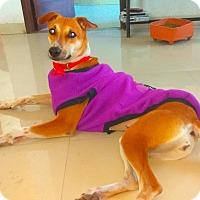 Adopt A Pet :: Cutie- Indian Pariah Dog - Monroe, NJ