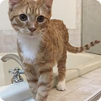 Adopt A Pet :: Taco - Herndon, VA