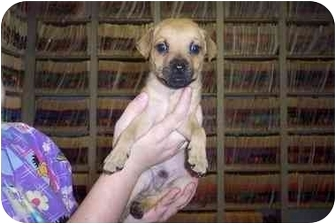 Terrier (Unknown Type, Small) Mix Puppy for adoption in Groveland, Florida - Lucas
