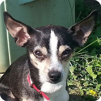 Chihuahua Dog for adoption in Romeoville, Illinois - Ruby