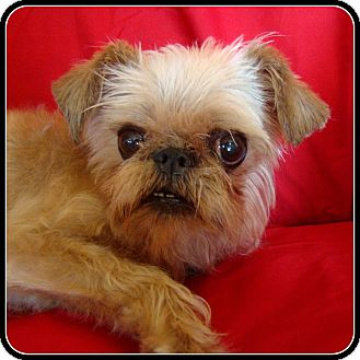 Brussels Griffon Dog for adoption in Seymour, Missouri - GUCCI in Lockport, IL.