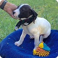 Adopt A Pet :: Domino - Buffalo, NY