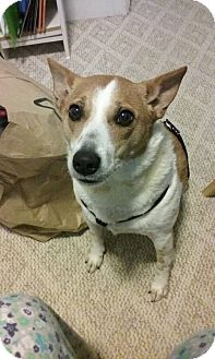 Jack Russell Terrier/Corgi Mix Dog for adoption in Blue Bell, Pennsylvania - Norman