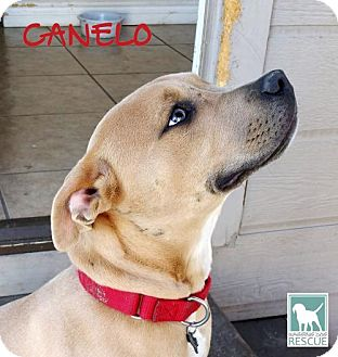 Pit Bull Terrier Dog for adoption in Carlsbad, California - Canelo - FOSTER or FOREVER