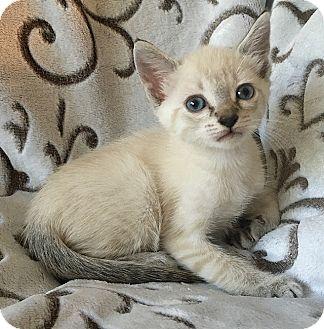 Siamese Cat Adoption Tampa