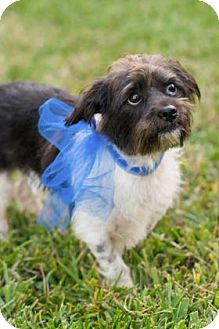 Shih Tzu/Cairn Terrier Mix Dog for adoption in Santa Fe, Texas - Pee Wee