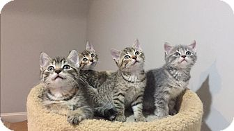 Domestic Shorthair Kitten for adoption in Gainesville, Virginia - Kittens!