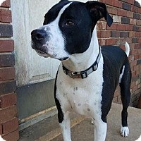 Bull Terrier/Boxer Mix Dog for adoption in Martinez, Georgia - Shadow