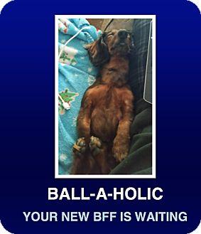 Dachshund Dog for adoption in Morrisville, Pennsylvania - Yammy