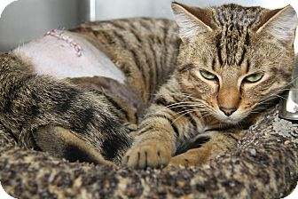 Domestic Shorthair Cat for adoption in Marietta, Ohio - Tucker (Neutered)-New Photos