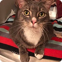Adopt A Pet :: Snuggles - Mansfield, TX