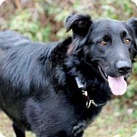 Flat-Coated Retriever Mix Dog for adoption in Norfolk, Virginia - AJAX