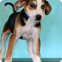 Adopt A Pet :: Mickey - Waldorf, MD