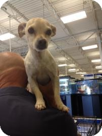 Chihuahua Mix Dog for adoption in Tucson, Arizona - Chase