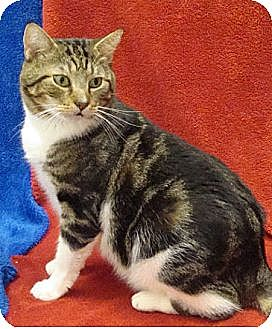 Domestic Shorthair Cat for adoption in Hallandale, Florida - Fava
