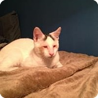 Domestic Shorthair Cat for adoption in New York, New York - Larry