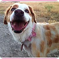 Adopt A Pet :: Callie - Concord, CA