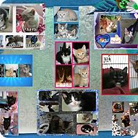 Adopt A Pet :: CATS CATS CATS - Corinth, NY