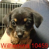 Adopt A Pet :: Wilhelmina - baltimore, MD