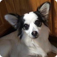 Adopt A Pet :: Tiara - Georgetown, CO
