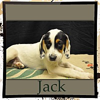 Adopt A Pet :: Jack ADOPTION PENDING - East Hartford, CT