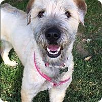 Adopt A Pet :: Sophie - Fullerton, CA