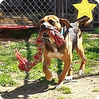 Hound (Unknown Type)/Boxer Mix Dog for adoption in Fayette City, Pennsylvania - Taz