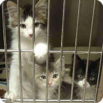 Domestic Shorthair Kitten for adoption in Howell, Michigan - Kittens