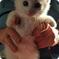Adopt A Pet :: Snowy - Encinitas, CA