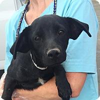 Adopt A Pet :: Rio - Las Vegas, NV