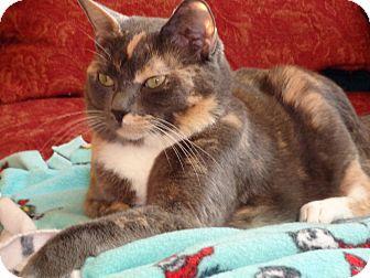 Domestic Shorthair Cat for adoption in Carlisle, Pennsylvania - VioletCP